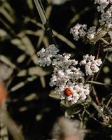 mariquita en flores de pétalos blancos