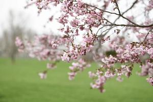 Pink cherry blossom tree in field