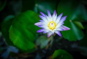 water lily with lotus leaf