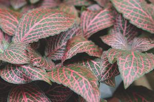 Fittonia albivenis o planta nerviosa foto