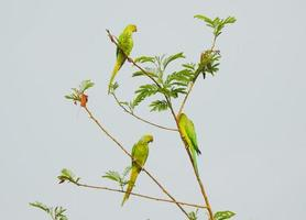 Green parrots on branch