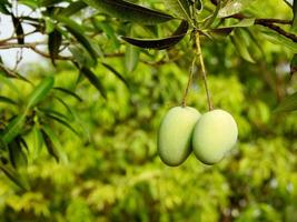 Green mangoes on branch