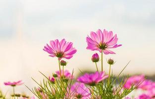 Pink cosmos flower blooming  photo