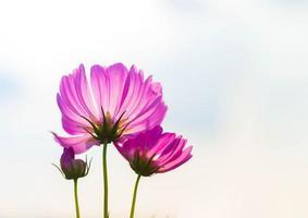 Pink cosmos flower in full bloom