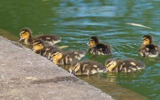 grupo de filhotes de pato no lago foto