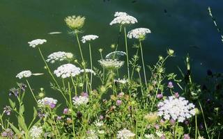 plantas com flores na margem do lago foto