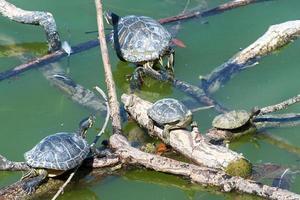 les tortues se réchauffent au soleil
