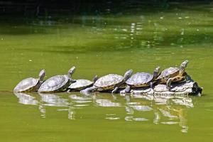 tartarugas em um lago foto