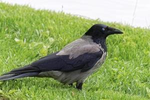 primer cuervo sobre hierba