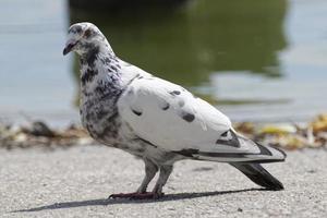 paloma moteada blanca