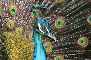 Close up view of a peacock