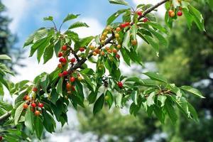 boomtak met kersen