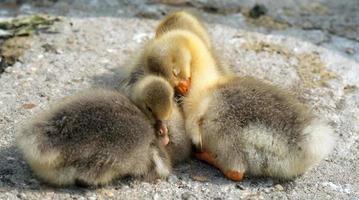 três filhotes de pato dormindo foto