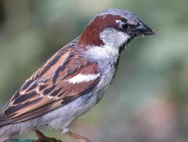 Close up view of a sparrow