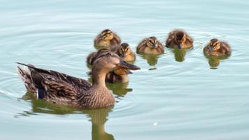 pato com filhotes na água