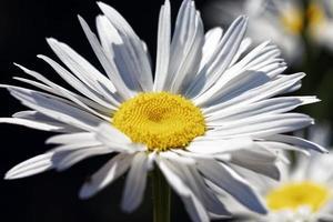Vista cercana de la flor de la margarita