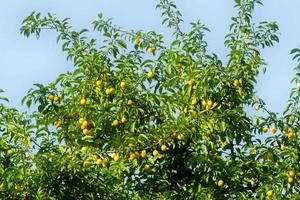 boomtak met vruchten