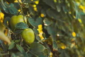 Unripe green tomatoes