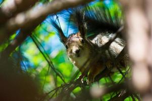 Brown squirrel in tree