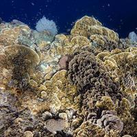 Brown coral reefs underwater