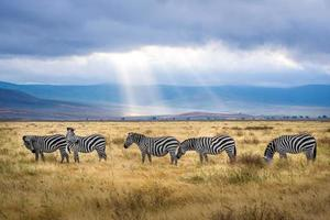 Zebras grazing on grass field