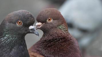 close-up de duas pombas foto