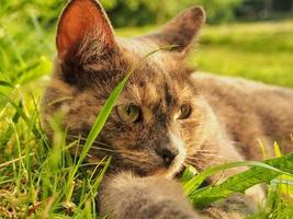 Cat laying on grass photo