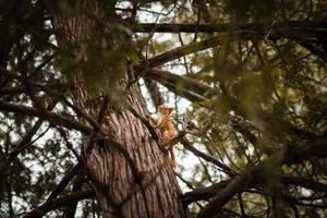 Squirrel on tree trunk photo