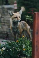 Red fox near green plant photo