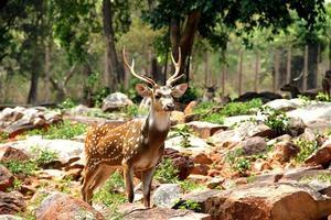 Brown deer on rocks