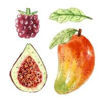 Mango, fig, berry, leaf watercolor set vector