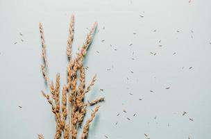 Wheat stalks and seeds on light blue background