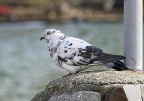 paloma sentada sobre ladrillos cerca del agua