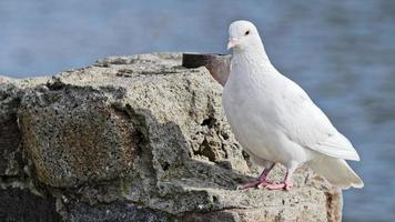 White pigeon on bricks near water photo