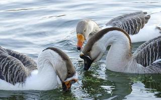 Three geese in water photo