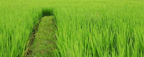 Green rice fields