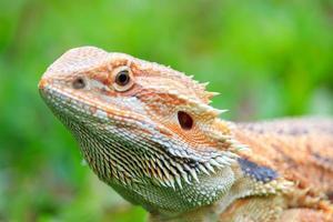 Bearded dragon outside