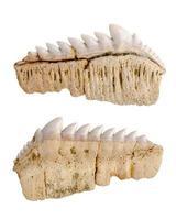Paleontology. Notidanus. Fossil fossilized shark teeth. Isolated on white. photo