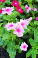 The petunias pink flowers in nature