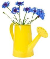 watering can cornflowers, isolated on white