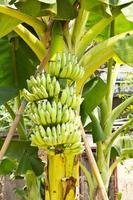 Bunch of young banana fruit