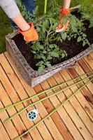 Staking cocktail tomato plants