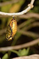 crisálida de mariposa