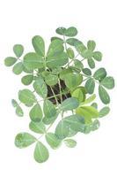 plantas de maní