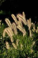 cabeza de flor pennisetum foto