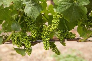 Image couleur de raisins pinot noir se développant sur la vigne