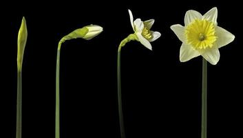 Time lapse daffodils