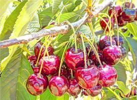 Tree with ripe red cherries photo