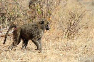 babuíno verde-oliva no parque nacional masai mara do quênia