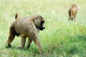 Olijfbaviaan in Masai Mara National Park van Kenia
